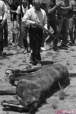 کشتن اسب پاشکسته