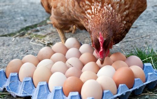طبق پیشبینیها تولید تخممرغ به ۹۵۰هزار تن خواهد رسید