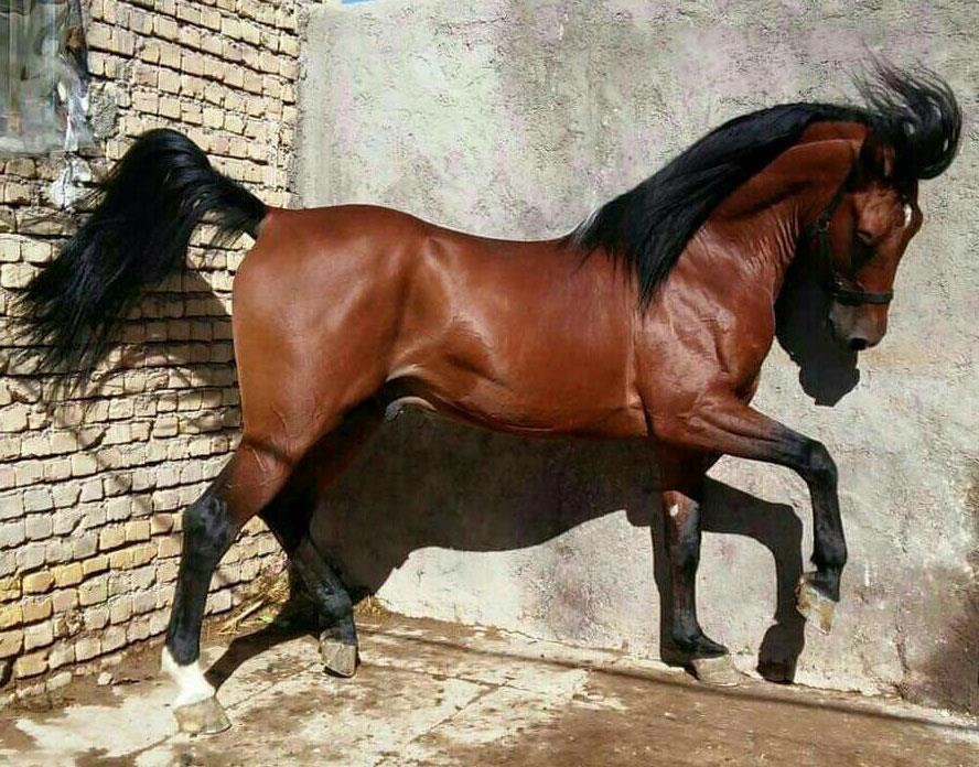 اسب کرد