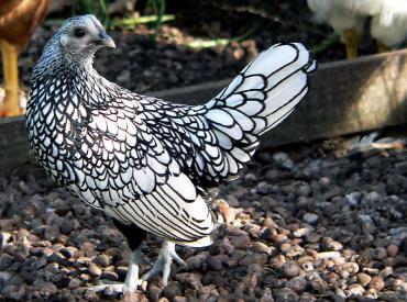 مرغ سبرایت یا مینیاتوری نقرهای