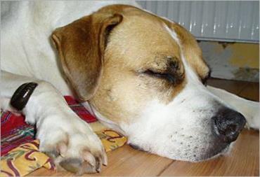 زالو درمانی در حیوانات