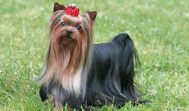 سگ یورکشایر