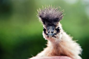 مرغ و خروس نژاد مویی