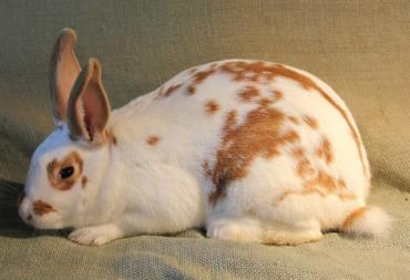 خرگوش نیوزیلندی