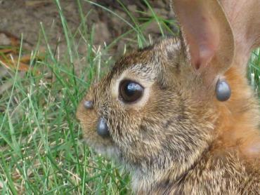 کنه در خرگوش
