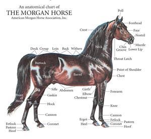 خصوصیات اسب مورگان