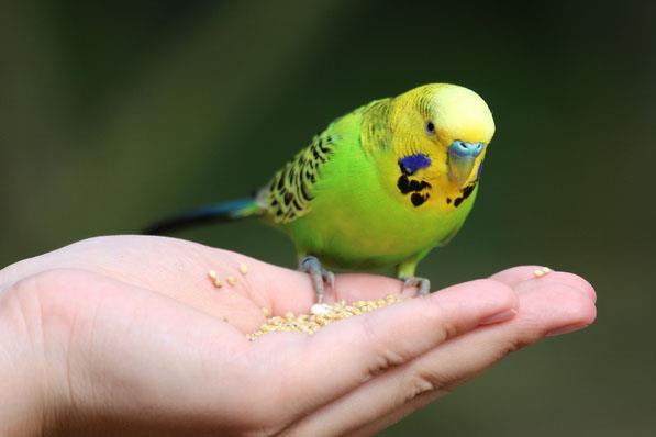 دستی کردن مرغ عشق