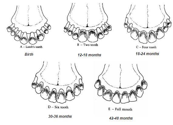 تعیین سن گوسفند و بز  باتوجه به دندانها