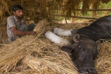 مراقبت از زخم دام و حیوان