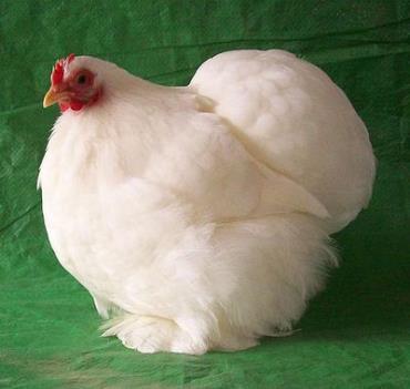 مرغ کوچین سفید