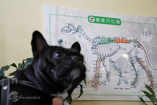 طب سوزنی سگ
