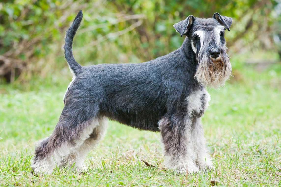 سگ نژاد اشنایزر