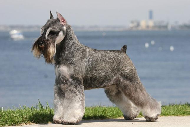 سگ اشنایزر استاندارد