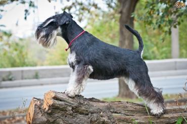 خلق وخوی سگ اشنایزر