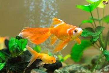 ماهی گلدفیش Gold Fish