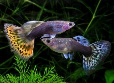 ماهی گپی Guppy