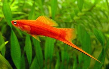 ماهی سوارتر Swordtails