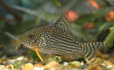 ماهی کت فیش کوری Corydoras Catfish