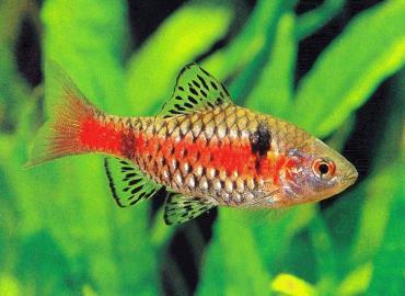 ماهی بارب Barbs
