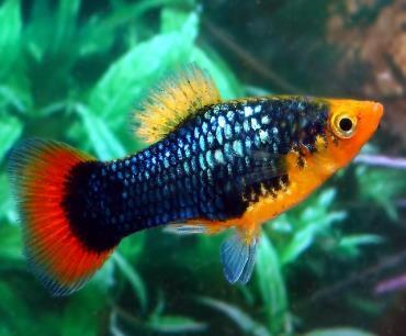 ماهی پلاتی Platy