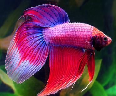 ماهی فایتر Betta