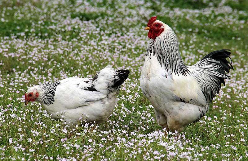 مرغ و خروس نژاد براهما- امپراتور