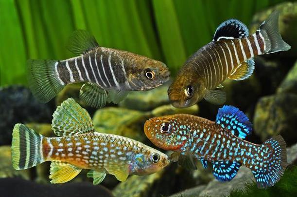 انگل آرگالوس در ماهیان گورخری