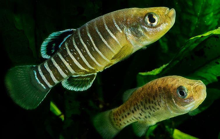 ابتلای ماهیان گورخری به انگل آرگالوس