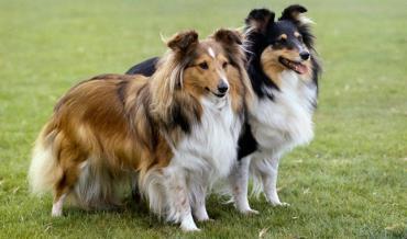سگ گله نژاد شتلند