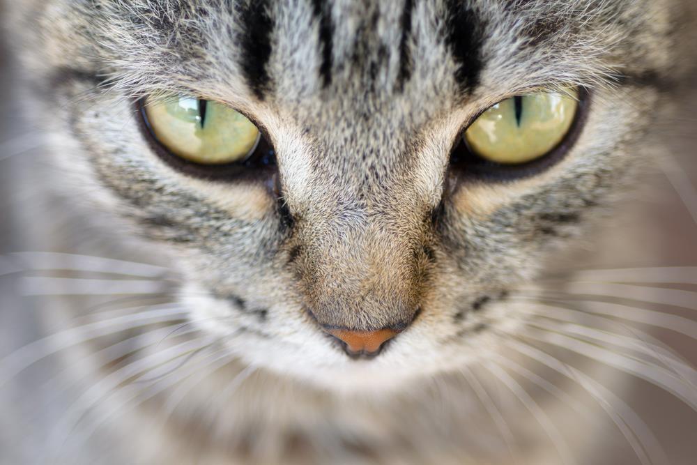 بیماری چشمی در گربه