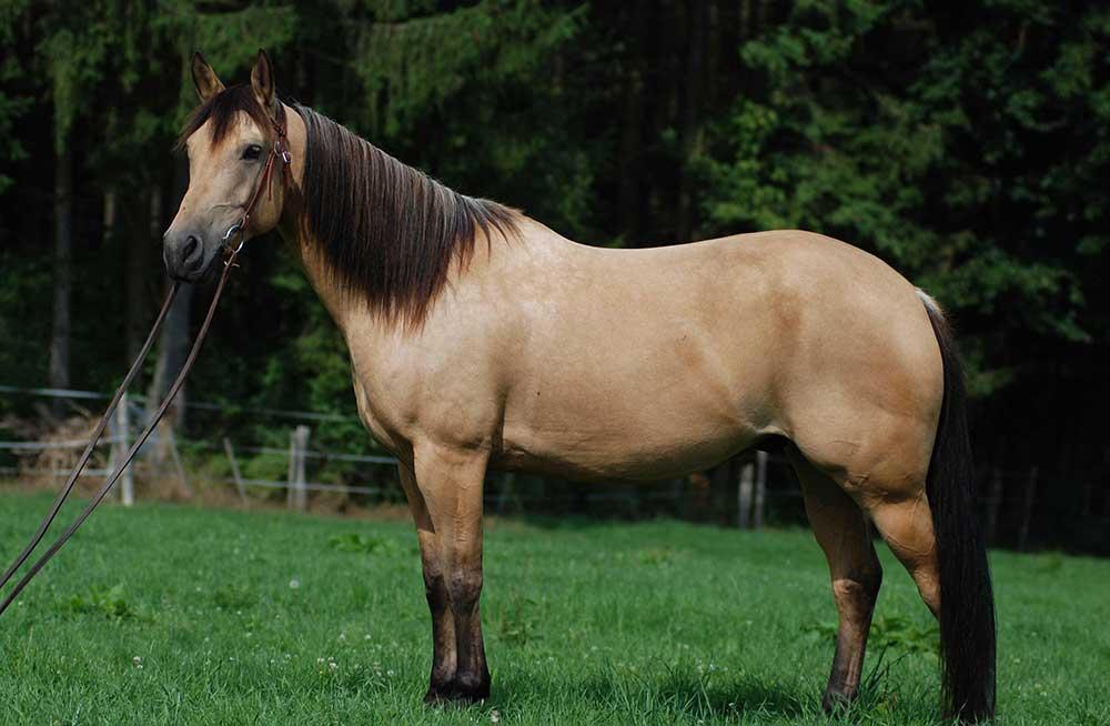 اسب نژاد کوارتر
