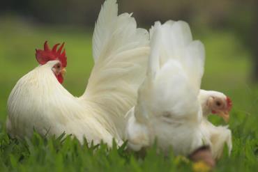 مرغ و خروس نژاد ژاپانست