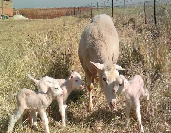 فصل جفتگیری و زایش گوسفند