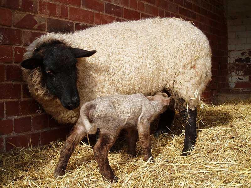 روشهای همزمانسازی فحلی گوسفند (بخش نخست)