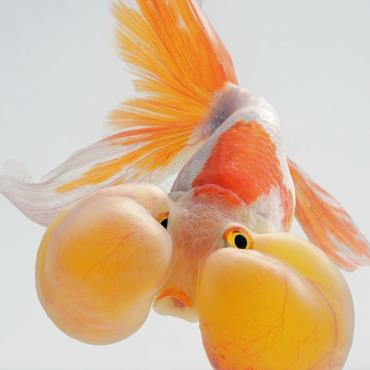 ماهی گلدفیش چشم حبابی