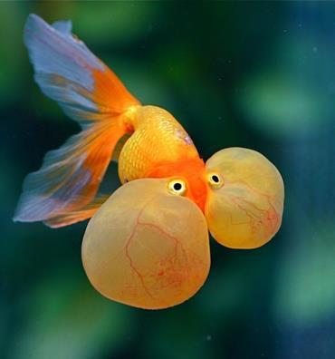 ماهی چشم حبابی