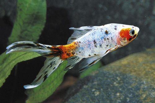 ماهی گلدفیش شابونکن