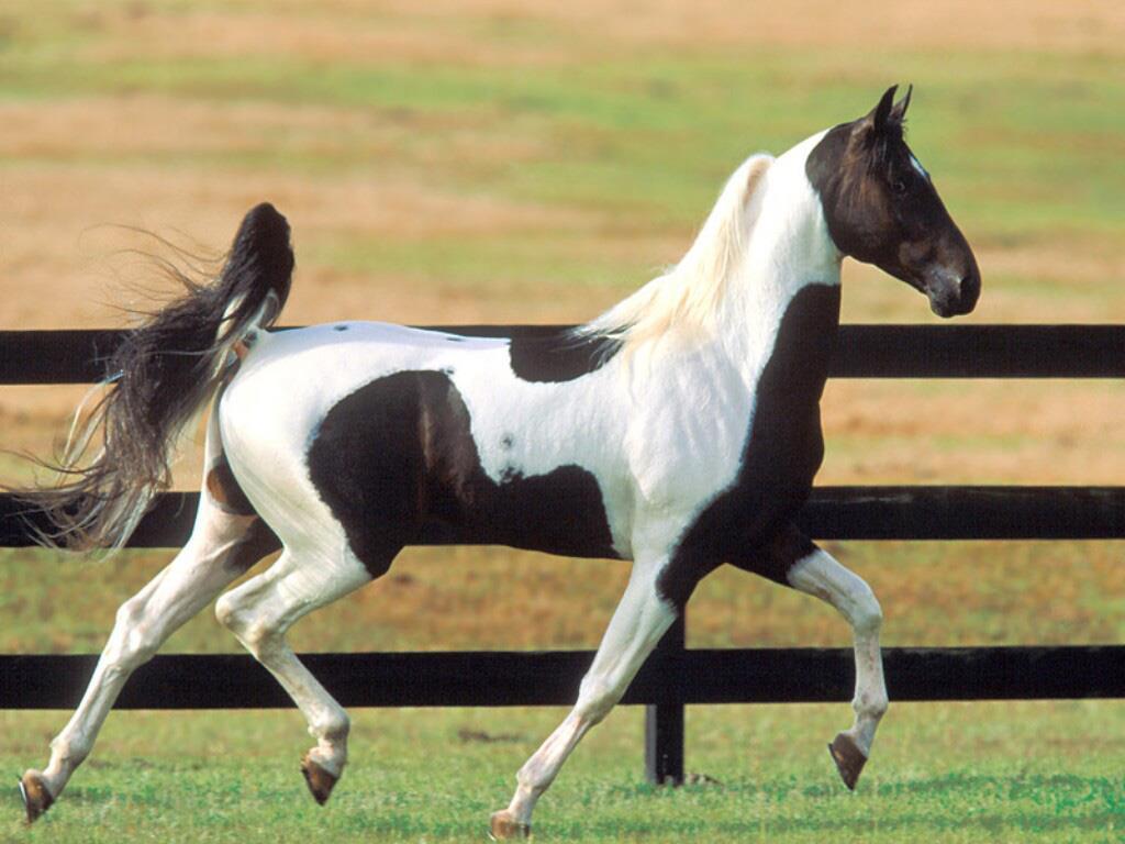 اسب نژاد سدل برد