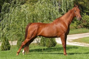 اسب سدلبرد