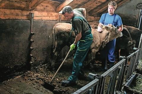 ارزیابی مدفوع گاو