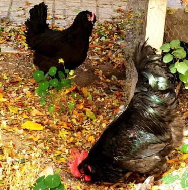 مرغ و خروس نژاد مرندی