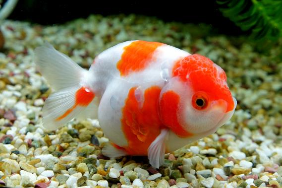 ماهی گلدفیش رنچو