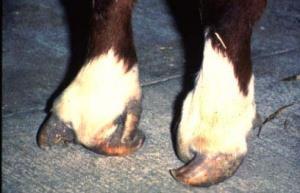 انگشت کم Syndactyly در گوساله