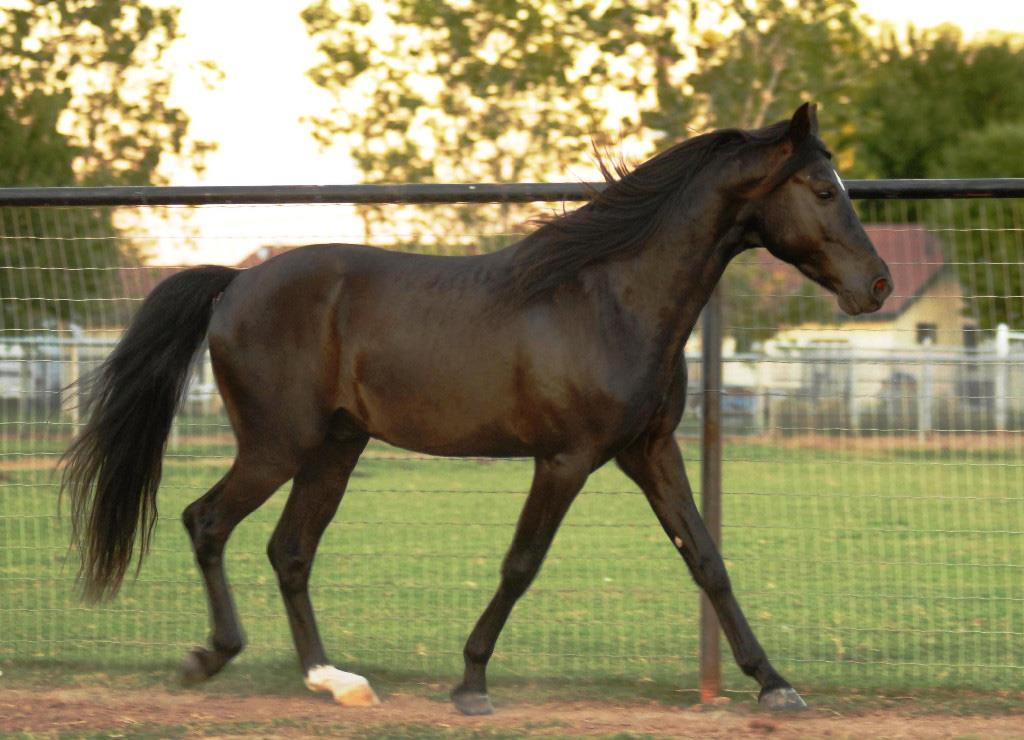 اسب نژاد میسوری فوکس تروتر