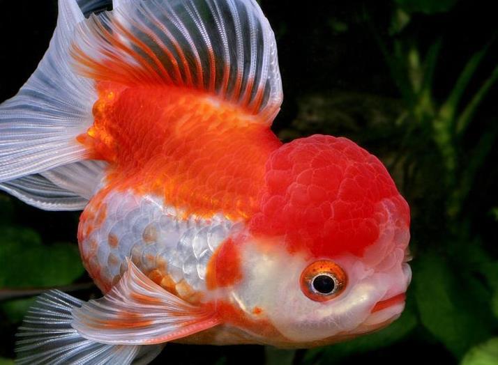 ماهی گلدفیش اوراندا