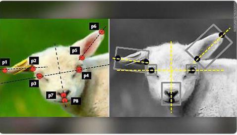 سیستم هوش مصنوعی برای تشخیص درد در گوسفند