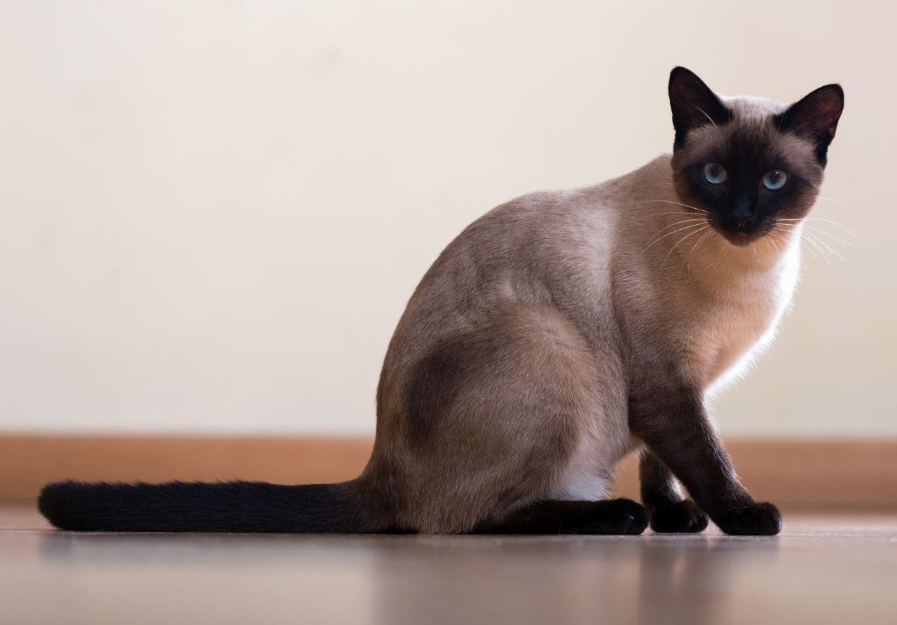 گربه نژاد سیامی