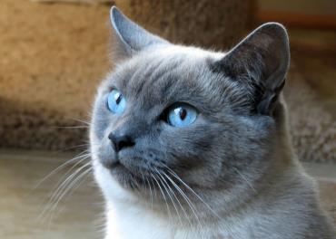 گربه سیامی آبی
