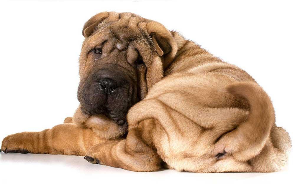 سگ چاینیز شارپی