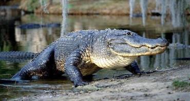 تمساح امریکایی